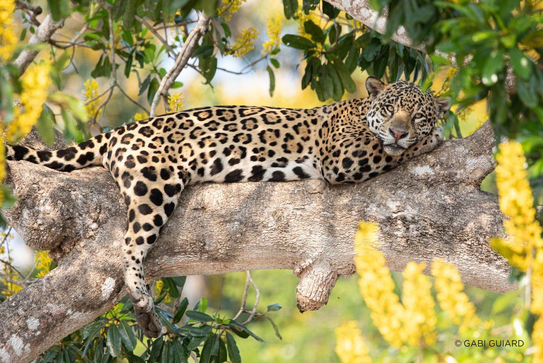 Jaguar Safari