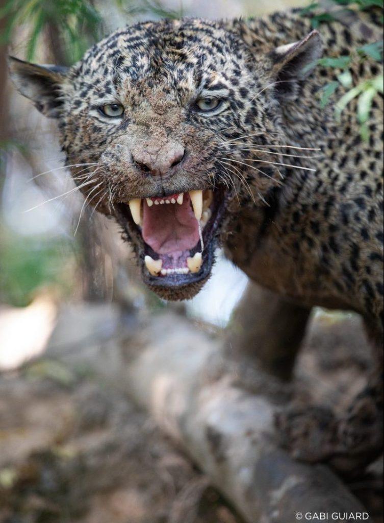Wild Jaguars Safaris