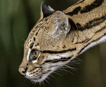 Safari Selvagem Jaguatirica