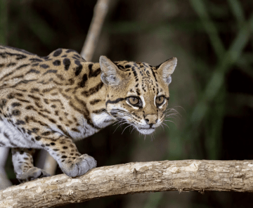 Safari fotográfico de jaguatiricas e jaguares