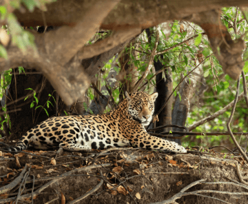 Jaguar Safari Tour Fotográfico