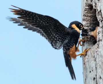 Pássaros do Pantanal