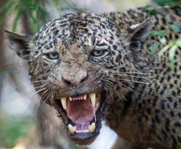 Jaguar &  Passeio fotográfico de jaguatirica