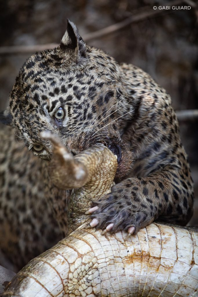 Wild Jaguar Safaris