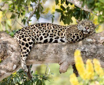 Wild Jaguar Safari