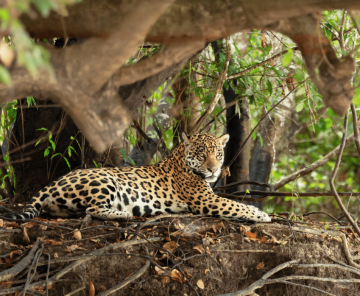 Jaguar Safari Photo Tour
