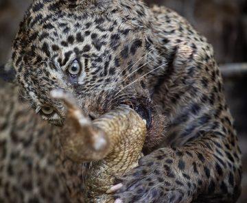 Special Jaguars | Workshop Photography