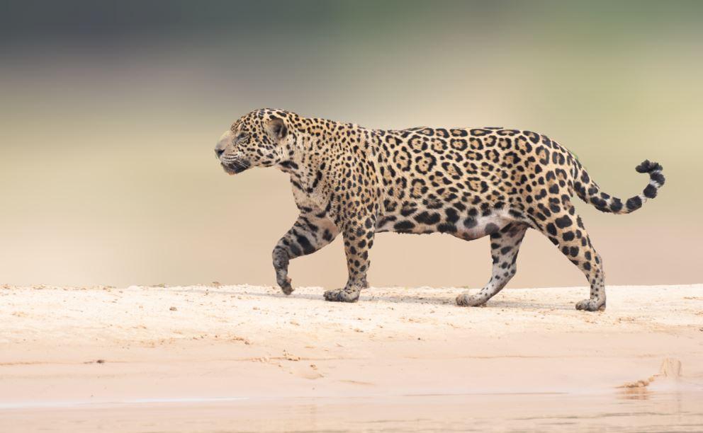 Types of photo on jaguar safari