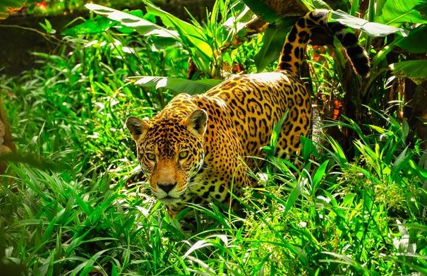 Where to find the jaguar? Understand about the habits of this feline